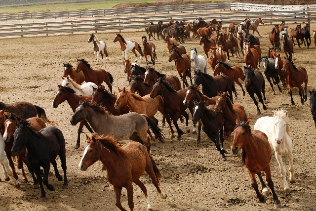 Wild horses in corrals in Carson City. (Photo by John Locher, Las Vegas Review-Journal)