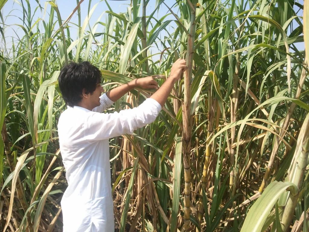 India's sugar plantation is